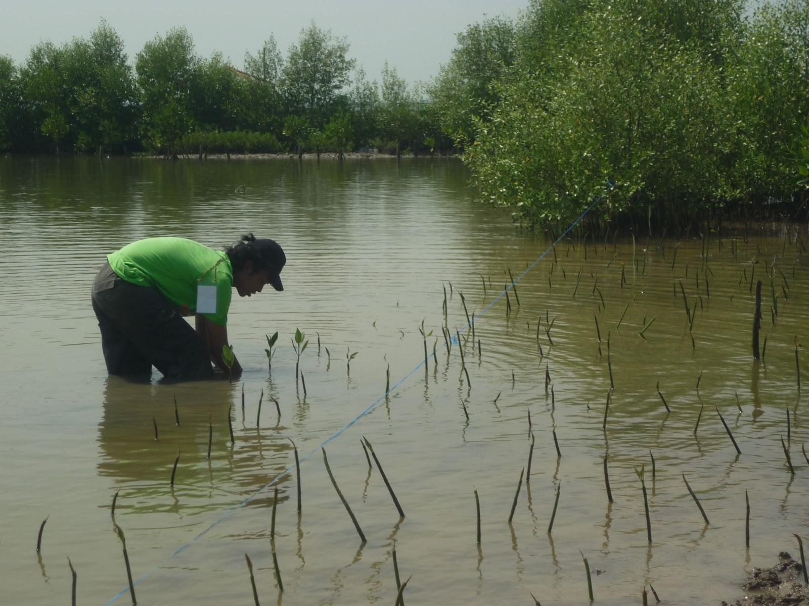 Peserta GBC Mangrove nampak menanam bibit mangrove jenis Rhizophora. (Foto: Dokumentasi pribadi).
