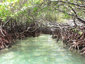 """Kelambu"" alami nyamuk itu, bernama mangrove. (Sumber foto)."