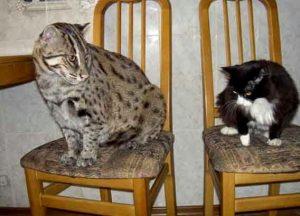 Perbandingan besar badan Kucing Mangrove dengan Kucing Rumah. Kucing Mangrove jawaranya!