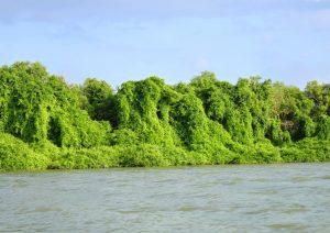 Kondisi mangrove yang terselimuti oleh benalu. Keren, sih. Tapi, kasihan mangrovenya!