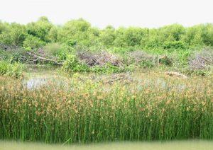 Kondisi mangrove yang ditebang untuk area pertambakan.