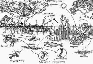 Jaring-jaring makanan yang ada di ekosistem hutan mangrove, Kuntul jadi salah satu bagian pentingnya.
