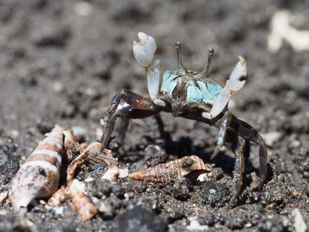 Suka menaikturunkan capitnya, Ilyoplax dijuluki sebagai kepiting Semaphore!