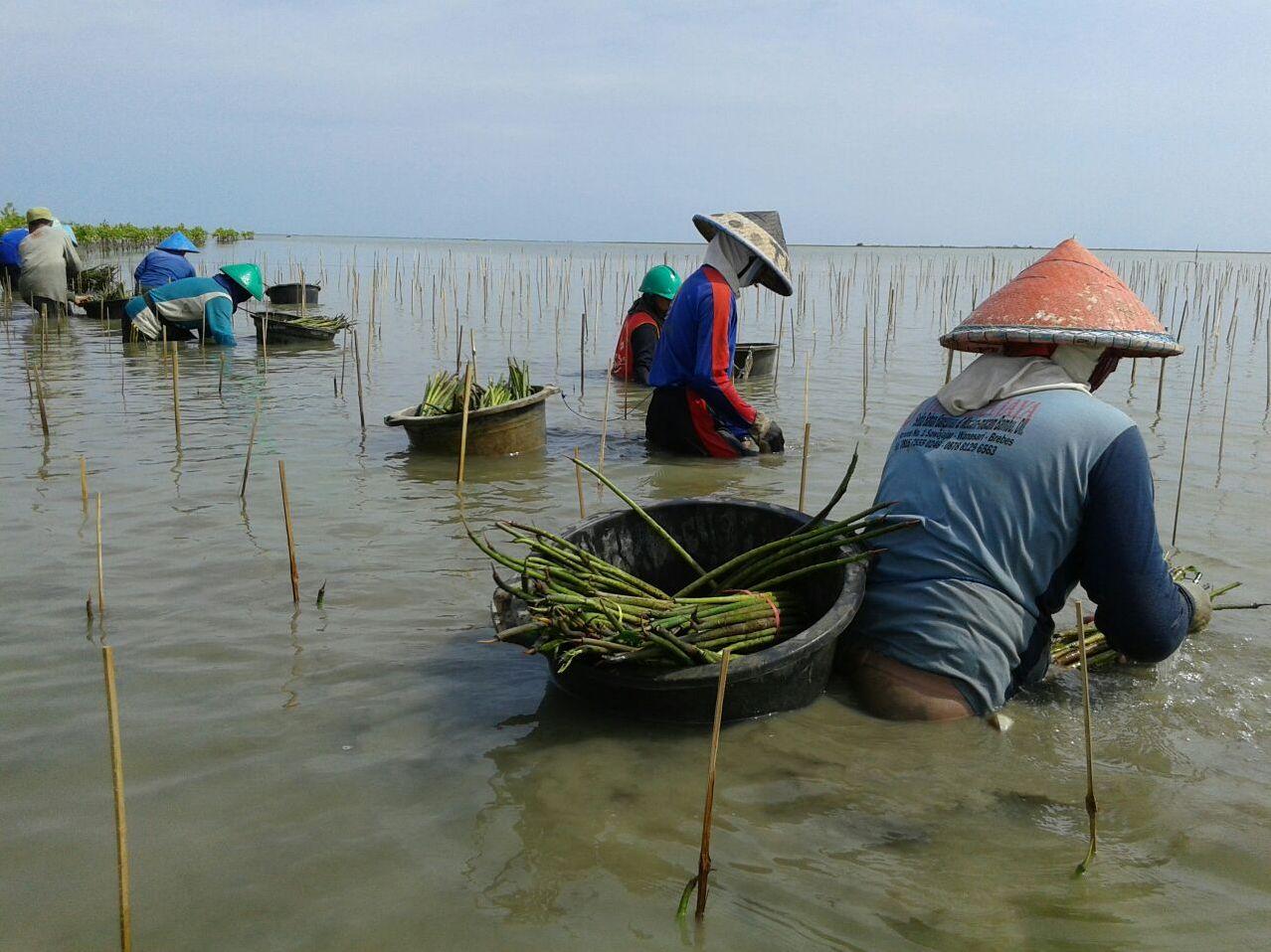 Penanaman mangrove sistem propagul oleh KPSA Wana Lestari di pesisir Desa Sawojajar, Brebes. (Foto: Dokumentasi pribadi).