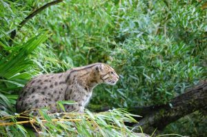 Kucing Mangrove nampak sedang beristirahat di habitatnya, yaitu hutan mangrove.