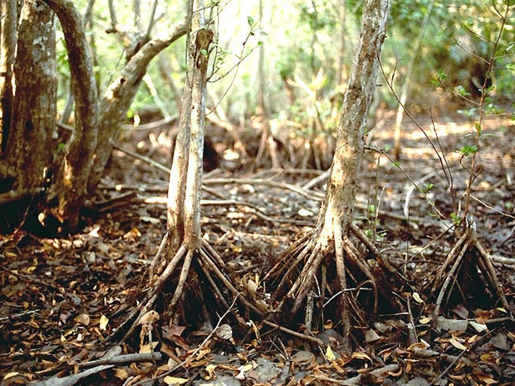 AR7 - Jenis Jenis Mangrove Dan Gambarnya